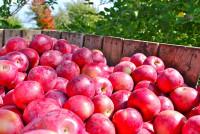 Holandia praca sezonowa przy zbiorach owoców jabłek bez języka w Venlo