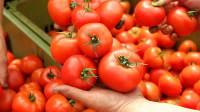 Oferta sezonowej pracy w Holandii przy zbiorach pomidorów w szklarni