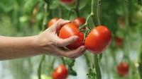 Sezonowa praca w Holandii przy zbiorach warzyw (pomidorów) Almere