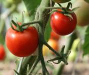Oferta pracy w Holandii przy pomidorach w szklarni bez języka Rotterdam