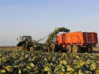 Sezonowa praca w Holandii przy zbiorach warzyw bez języka Zwolle