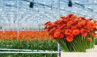 Praca Holandia bez języka w ogrodnictwie przy pielęgnacji róż Luttelgeest
