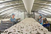 Sezonowa praca w Holandii przy zbiorach pieczarek bez znajomości języka