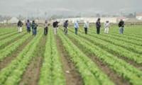 Dam sezonową pracę w Holandii bez języka przy zbiorach warzyw Breda