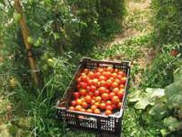 Bez znajomości języka praca Holandia w szklarni zbiory pomidorów od zaraz
