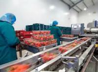 Holandia praca w Oudenbosch dla par bez języka przy pakowaniu warzyw