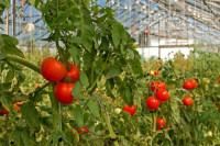 Ogrodnictwo praca w Holandii przy zbiorach pomidorów z językiem angielskim Drunen