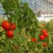 zbiory-pomidorow-szklarnia6