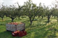 Oferta pracy w Holandii bez znajomości języka przy zbiorach owoców Haga