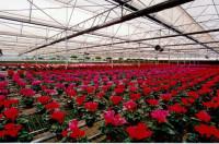 Dam sezonową pracę w Holandii przy kwiatach bez języka w szklarni Den Haag