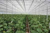 Sezonowa praca Holandia od zaraz przy zbiorach ogórków bez języka Rotterdam