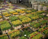 Dam pracę w Holandii przy kwiatach w ogrodnictwie bez języka Rotterdam