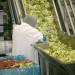 produkcja-salatek3