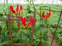 Bez znajomości języka praca Holandia w ogrodnictwie przy kwiatach od zaraz