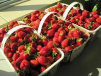 Dam pracę w Holandii przy zbiorach truskawek w szklarni Bemmel bez języka