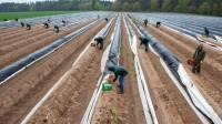 Dam sezonową pracę w Holandii bez języka przy zbiorach szparagów Limburgia