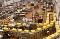 Praca Holandia na produkcji sera bez znajomości języka Woerden 2015