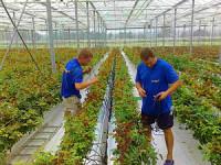 Dam pracę w Holandii przy pielęgnowaniu roślin w ogrodnictwie Lelystad