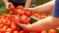Oferta sezonowej pracy w Holandii bez języka przy zbiorach pomidorów Goes