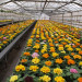 kwiaty-szklarnia-niemcy-holandia