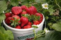Sezonowa praca w Holandii przy zbiorach owoców truskawek bez języka Limburgia