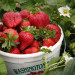 truskawki-farma