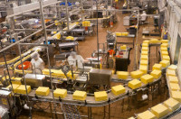 Dam pracę w Holandii bez języka na produkcji sera Zeewolde od zaraz