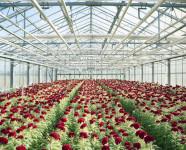 Praca w Holandii przy kwiatach w szklarni ścinanie róż bez doświadczenia