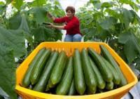 Holandia praca w ogrodnictwie przy ogórkach Haga