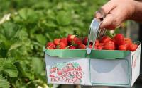 Holandia praca sezonowa przy zbiorach truskawek od zaraz