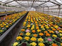Holandia praca w ogrodnictwie przy kwiatach – róże Haga