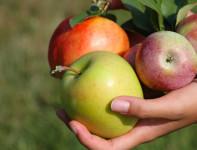 Sezonowa praca w Holandii w Dronten przy zbiorach gruszek, jabłek od zaraz