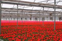Oferta pracy w Holandii od zaraz przy kwiatach w ogrodnictwie bez języka Den Haag