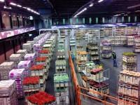 Dam pracę w Holandii bez znajomości języka ogrodnictwo Venlo przy kwiatach