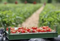 Praca w Holandii sezonowa przy zbiorach truskawek bez języka Bemmel