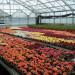 szklarnia-kwiaty1