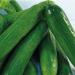 komkommer_persian[1]