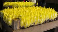 Oferta pracy w Holandii przy pakowaniu cykorii od zaraz Haga