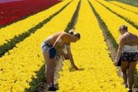 Ogłoszenie pracy w Holandii w ogrodnictwie przy kwiatach bez języka Haga