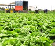 Holandia praca sezonowa od zaraz przy zbiorze warzyw gruntowych bez języka