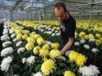Holandia praca przy chryzantemach w ogrodnictwie bez języka Naaldwijk