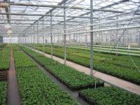 Dam pracę w Holandii od zaraz ogrodnictwo przy sadzonkach ziół bez języka