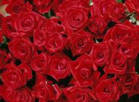 Oferta stałej pracy w Holandii przy różach w szklarni – Moerkapelle