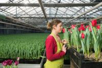 Praca Holandia w szklarni bez języka przy kwiatach, tulipanach, orchideach, chryzantemach