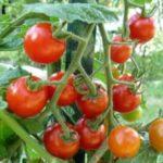 Holandia praca od zaraz w ogrodnictwie bez języka przy pomidorach w szklarni Goes