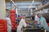 Amersfort, Holandia praca bez znajomości języka produkcja ciastek, ptysi i eklerków