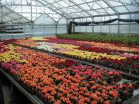 Dam pracę w Holandii bez języka ogrodnictwo przy kwiatach na szklarni, Naaldwijk