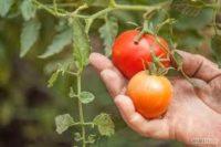 Holandia praca sezonowa od zaraz przy zbiorach pomidorów bez języka Zwolle