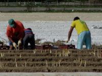Sezonowa praca Holandia od marca zbiory szparagów bez znajomości języka Venlo