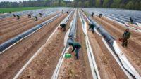 Sezonowa praca Holandia od zaraz zbiory szparagów bez znajomości języka Zwolle